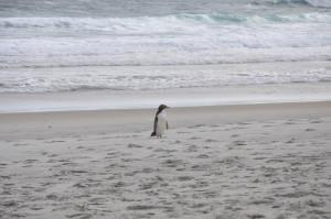Pinguin, Otago Peninsula