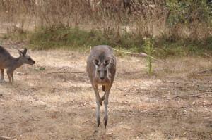 Känguru im Grampians National Park