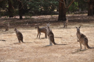 Noch mehr Kängurus