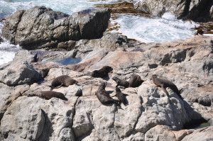 Robben bei Kaikoura