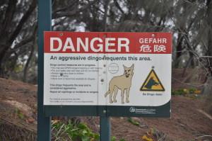 Dingos lauern an allen Ecken auf Fraser Island