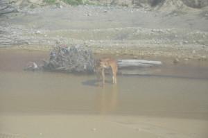 Ein Dingo (leider aus dem Busfenster)