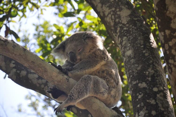 Koala im Australia Zoo