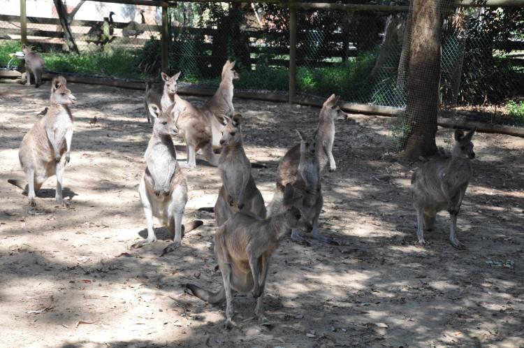 Aufmerksame Kängurus