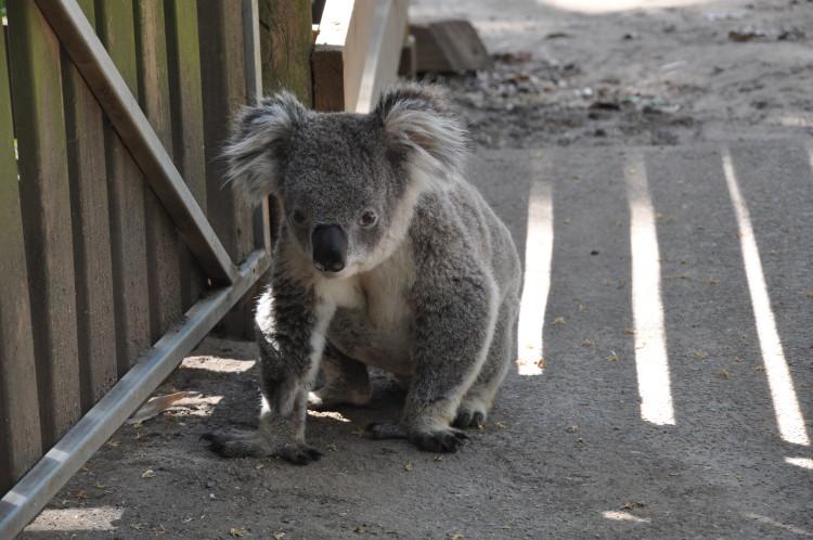 Koala hat sich im Kängurugehege verirrt