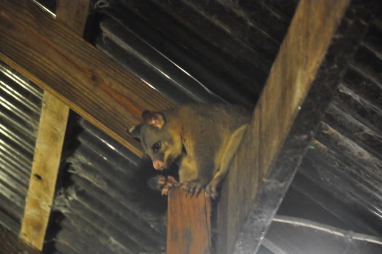 Possum lauert unter dem Dach