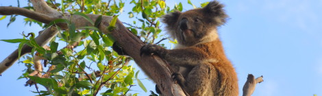 Wilder Koala, Great Ocean Road