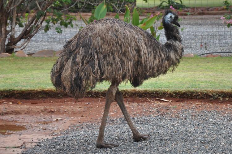 Emu auf einer Outback Farm