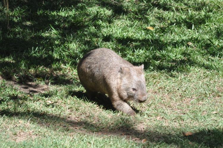 Wombat im Australia Zoo