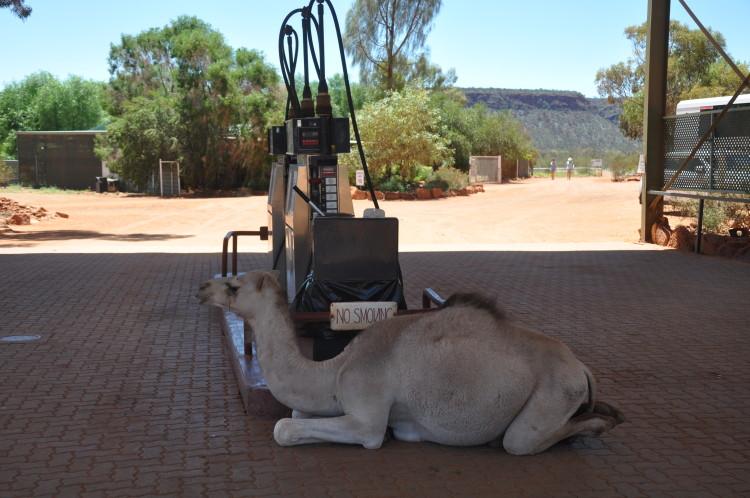 Eingewandert in Australiens Tierwelt: Das Kamel von der Tankstelle
