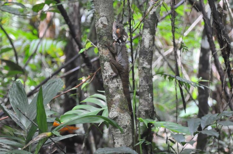 Weiterer Vertreter in Australiens Tierwelt: Drache im Daintree Forest