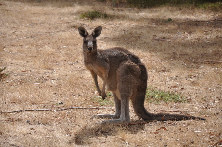 Känguru, Grampians National Park