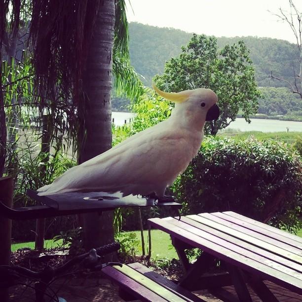 Kakadu auf der Hostel-Terasse in Airlie Beach