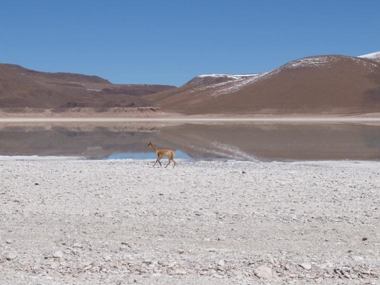 Vicuña auf dem Altiplano