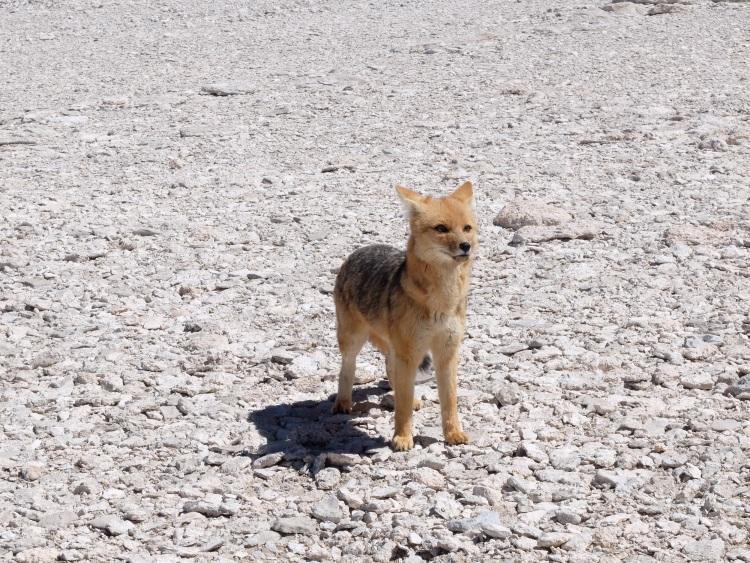 Zum Knuddeln: der Anden-Fuchs