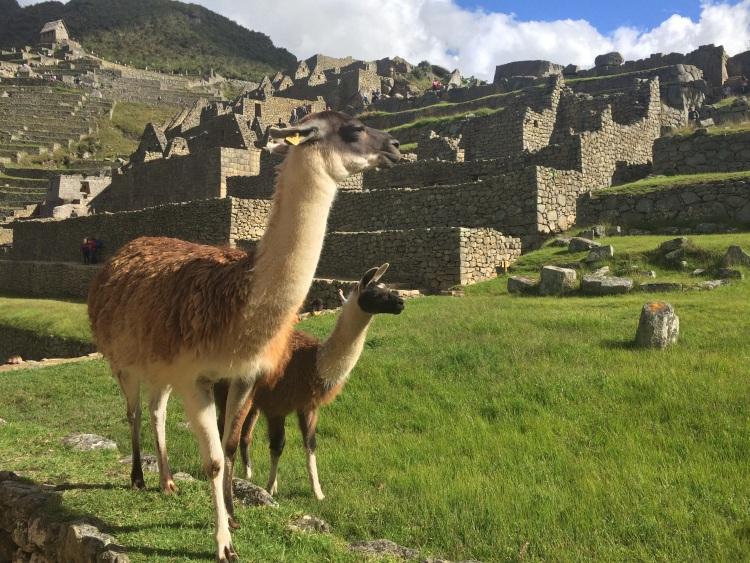 Danach teilen wir Machu Picchu nur noch mit den Lamas