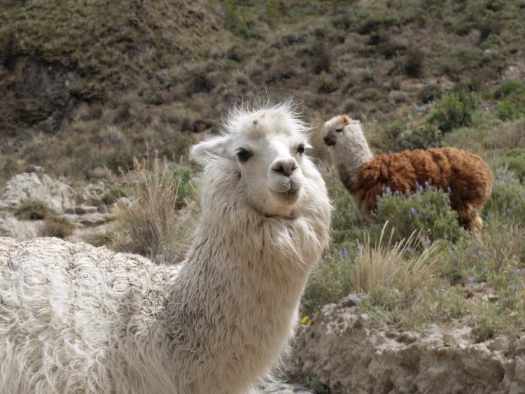 Lamas auf dem Weg